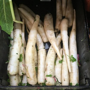 Fresh Whole Daikon Radish<br>Lb